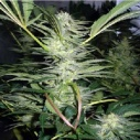 White Widow - Medical seeds -
